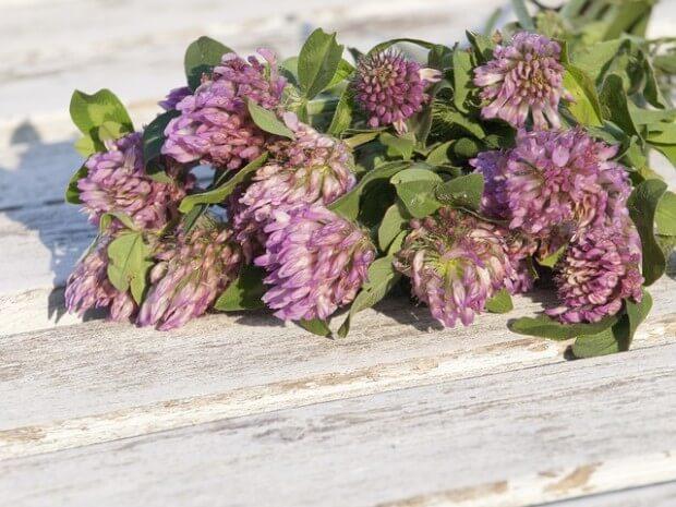 Kwiaty koniczyny