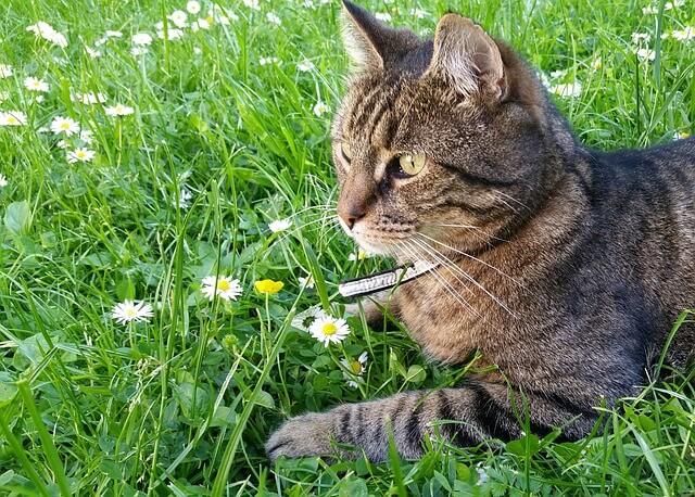 Zadbany i zdrowy kot leżący na trawie