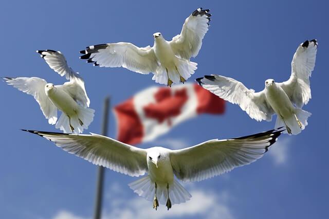 mewy latające nad flagą Kanady